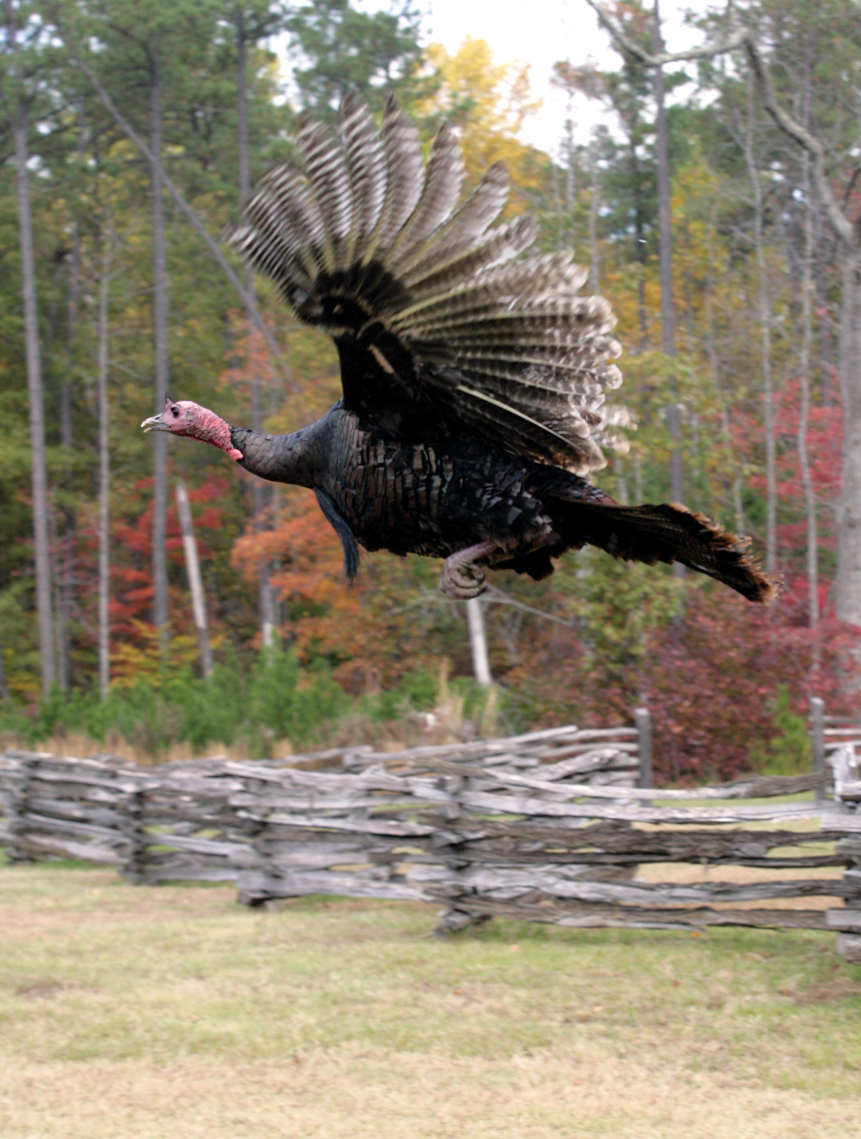 Wild turkey flight - photo#12