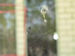 The spider's herd of dead flies