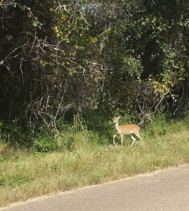 Mama deer at wildlife refuge