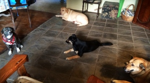 My seeing eye dogs candidates.  I think Scooter's out since she only has 2 operable legs.